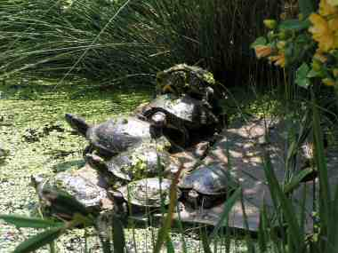 Red-eared Terrapins (Chrysemys scripta)