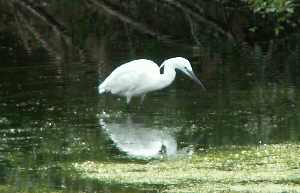 Little Egret, Heronry Pond