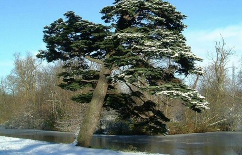 plant Cedar of Lebanon wp ow snow 281200 0013intro