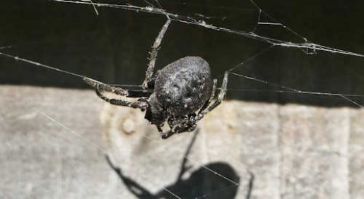 Walnut Orbweb Spider
