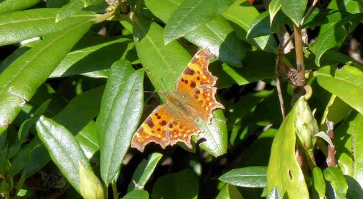 16th March - Comma in the garden