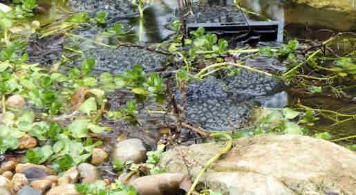 26th February - Frog spawn in garden pond