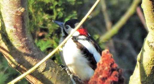 20th March - Great Spotted Woodpecker in garden