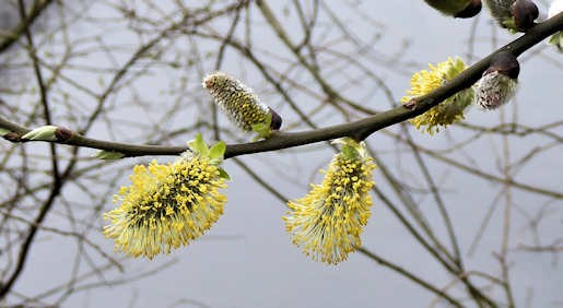 20th March - Willow flowers by Alexandra Lake