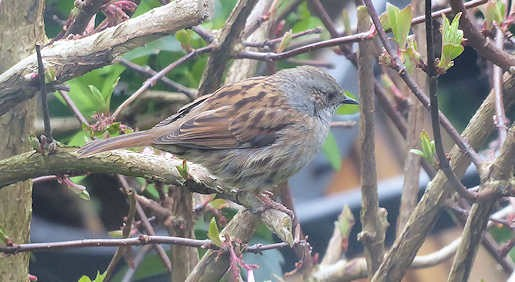 11th March - Dunnock in the garden