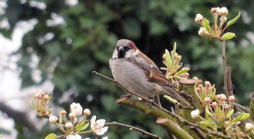 19th March - House Sparrow in the garden