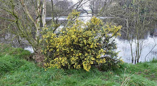 19th March - Gorse by Alexandra Lake