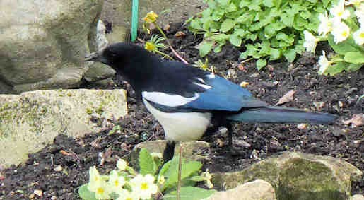 20th March - Magpie in the garden