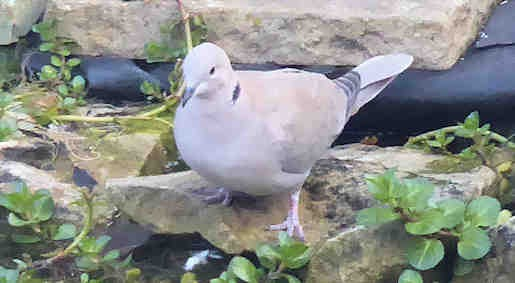 29th March - Collared Dove at garden pond