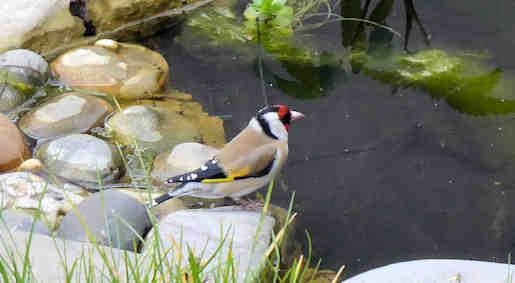 2nd April - Goldfinch at garden pond