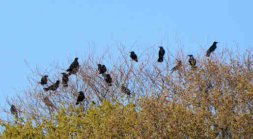 4th April - Carrion Crows on Wanstead Flats