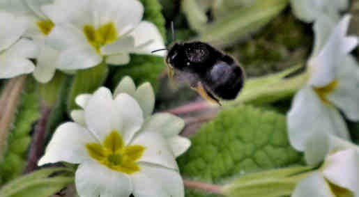 8th April - Female Hairy-footed Flower Bee, garden