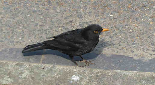 8th April - Blackbird in the road