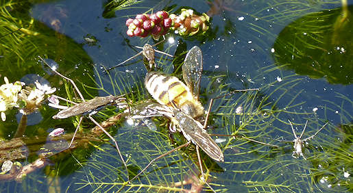 31 May - Pond Skaters attacking Honey Bee on garden pond