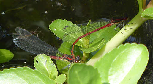 2 June - Large Red damselflies egg-laying, garden pond